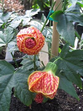 Chn Plants Abutilon Tiger Eye