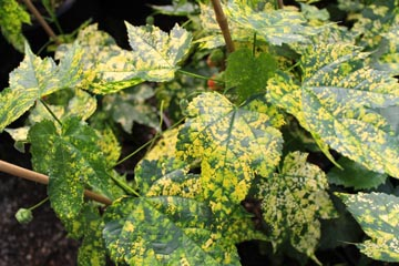 Chn Plants Abutilon Pictum Mardi Gras