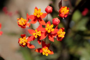 CHN - Plants - Asclepias curassavica 'Wildfire'