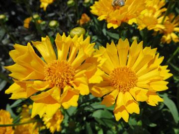 Chn Plants Coreopsis Jethro Tull