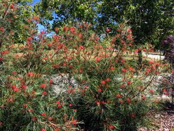 Chn Plants Grevillea Long John