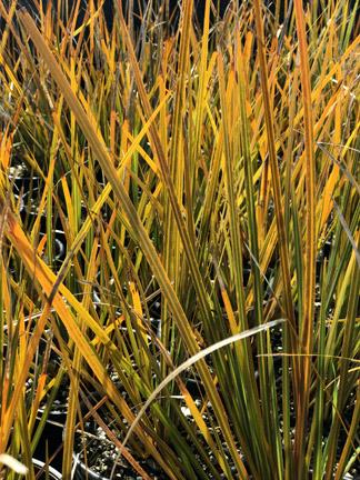 Chn Plants Libertia Ixioides Taupo Blaze
