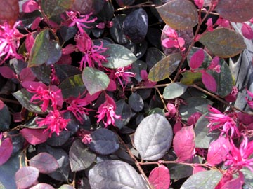 Chn Plants Loropetalum Chinense Purple Majesty