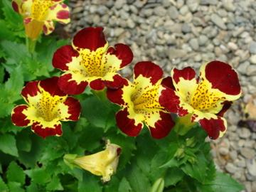 chn  plants  mimulus x hybridus 'shade loving mixed', Beautiful flower