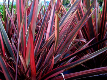 Phormium%20'Guardsman'%201 In Home Plant Stands on in home furniture, in home wine racks, in home bird stands, in home lighting, in home wall art, in home plant displays, in ground plant stands, in home planters, in home arbors, in home flowers,