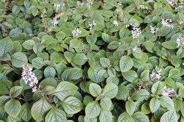 3 x Plectranthus ciliatus purple plug plants