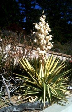Chn Plants Yucca Filamentosa Colorguard